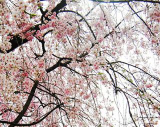 お花見 桜 深大寺 見頃 満開 フリー写真素材