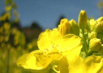 那須 青木の森カフェ 菜の花 写真素材