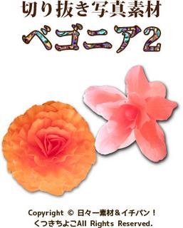 写真素材 切り抜き写真 花 ベゴニア サンプル画像