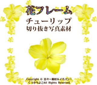 フリー素材 花 写真 チューリップ(黄色) サンプル画像